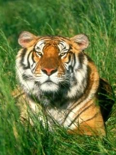 Bengal Tiger Mobile Wallpaper