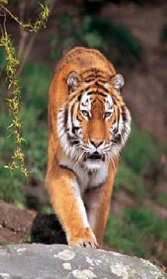 Save Tiger Mobile Wallpaper