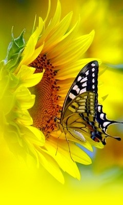 Cute Butterfly Mobile Wallpaper
