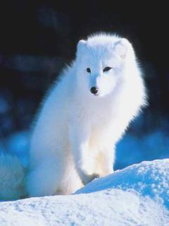 Polar Fox Mobile Wallpaper