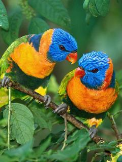 Rainbow Lorikeets Mobile Wallpaper