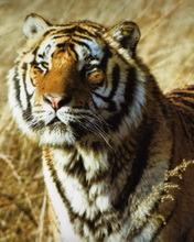 Animal,tiger.sumatera Mobile Wallpaper
