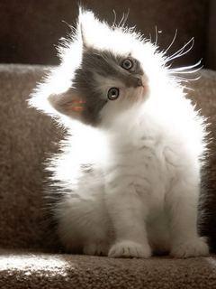 Beautiful Cat Mobile Wallpaper
