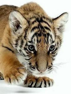 Cute Tiger Mobile Wallpaper