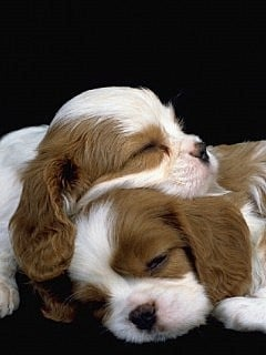 Spaniels Mobile Wallpaper