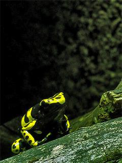 Yellow Frog Mobile Wallpaper
