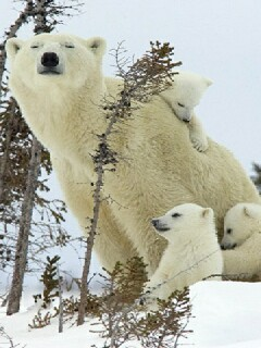 Polar Bear Mobile Wallpaper