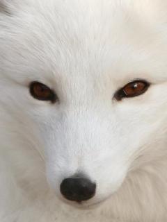 White Wolf Mobile Wallpaper