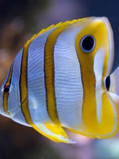 Yellow Fish Mobile Wallpaper