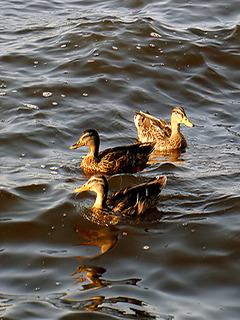 Ducks Mobile Wallpaper