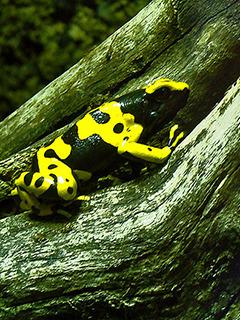 Frog Mobile Wallpaper