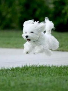 White Puppy Mobile Wallpaper