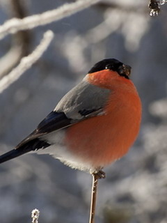 Bull Finch Mobile Wallpaper