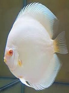 White Fish Mobile Wallpaper