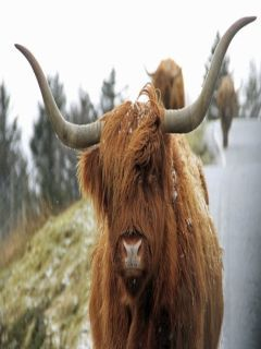Highland Cow Mobile Wallpaper