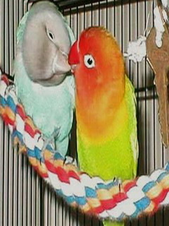 Parrot French Kissing Mobile Wallpaper