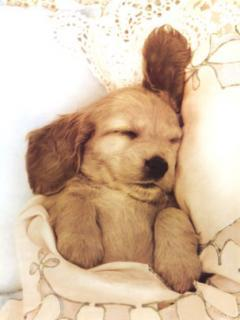 Cute Sleepy Puppy Mobile Wallpaper