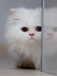 White Cute Cat Mobile Wallpaper