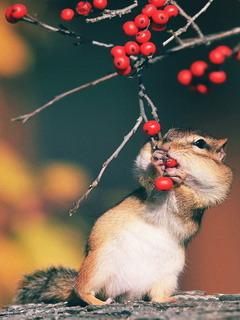 Mice Eats Berries Mobile Wallpaper