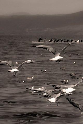 Flying Seagull IPhone Wallpaper Mobile Wallpaper