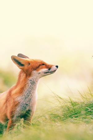Fox Thinking IPhone Wallpaper Mobile Wallpaper