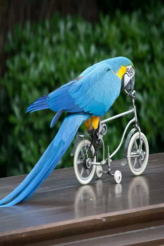 Parrot On Bicycle Funny IPhone Wallpaper Mobile Wallpaper
