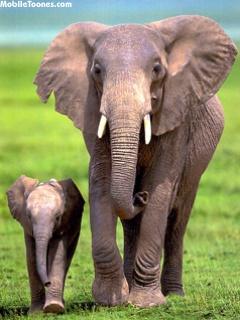 Elephants Mobile Wallpaper