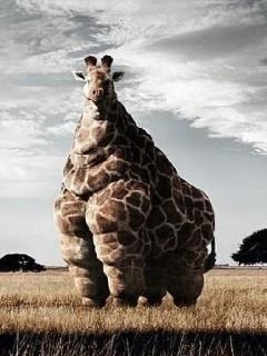 Fat Giraffe Mobile Wallpaper