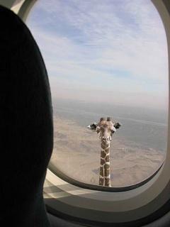 Funny Giraffe Mobile Wallpaper