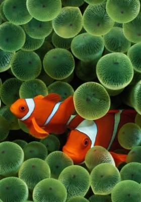 Orange Fish Mobile Wallpaper