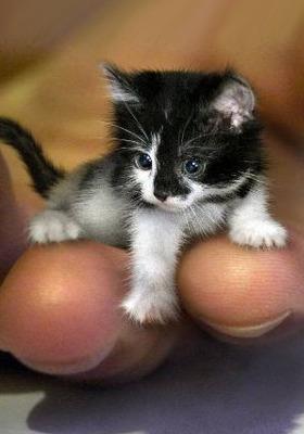 Kitten Mobile Wallpaper