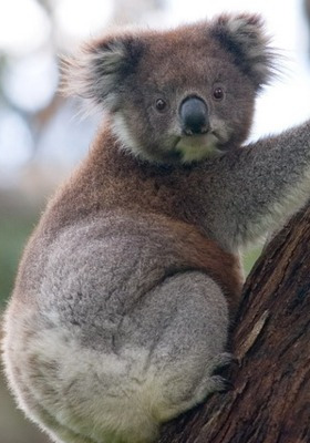Koala Climb Mobile Wallpaper