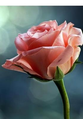 Download Pink Rose Mobile Wallpaper Mobile Toones