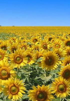 Download Sunflower Mobile Wallpaper | Mobile Toones