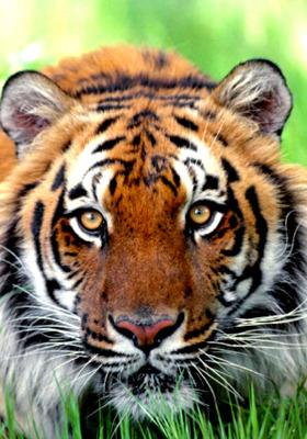 Tigers Mobile Wallpaper