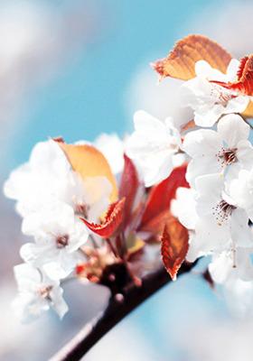 Cherry Flower Mobile Wallpaper