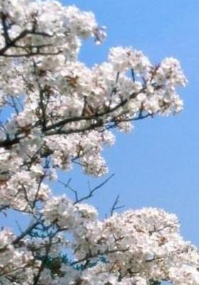 Cerry Blossom Mobile Wallpaper