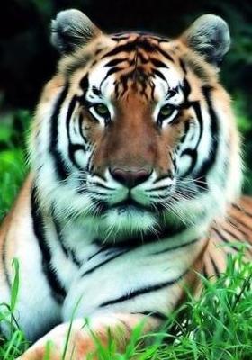 Beautiful Tiger Mobile Wallpaper