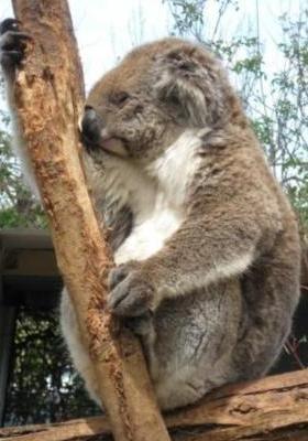 Sleepy Koala Mobile Wallpaper