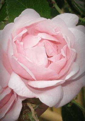 Pink Rose Mobile Wallpaper