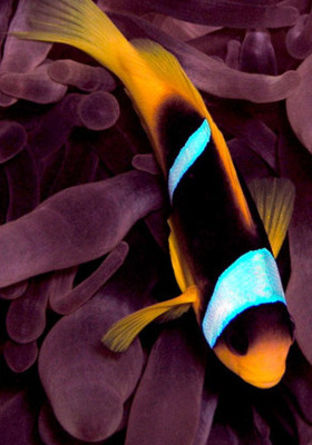 Clownfish  Mobile Wallpaper