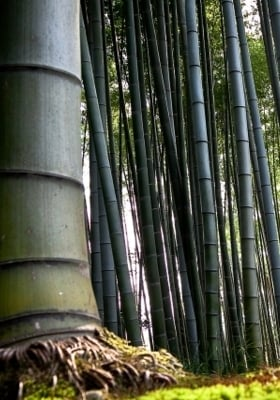 Bamboo Forest  Mobile Wallpaper