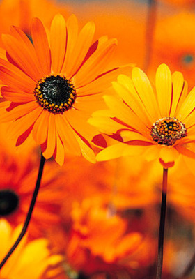 Download Orange Daisies Mobile Wallpaper | Mobile Toones