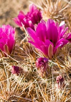 Pink Flowers Cactus Mobile Wallpaper