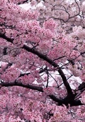 Pink Plum Tree Mobile Wallpaper
