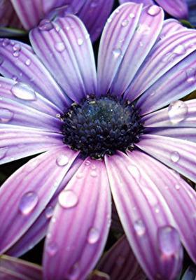 Purple Daisy Mobile Wallpaper