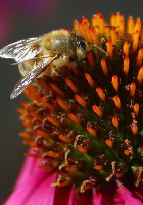 Bee On Flower Mobile Wallpaper