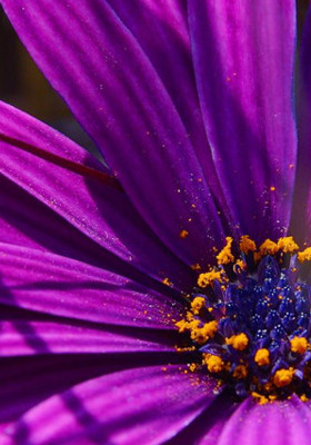 Purple Daisy Flower Mobile Wallpaper