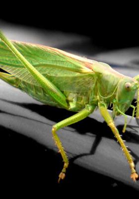 Grasshopper IPhone Wallpaper Mobile Wallpaper