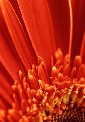 Orange Flower Mobile Wallpaper